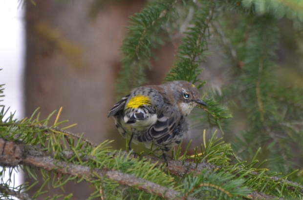 Yellow-rumped Warbler