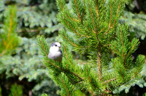 Gray Jay--a cute little fellow just sitting there waiting for me to take his picture