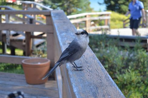 A friendlier Gray Jay