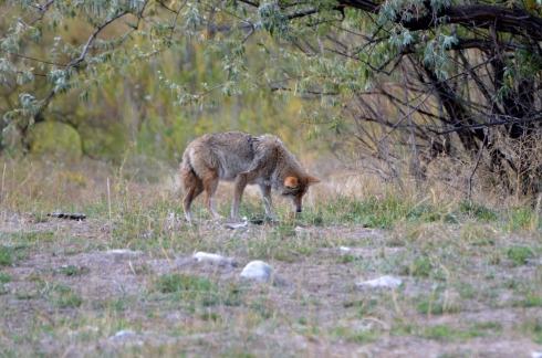 A coyote not caring about us at all