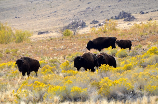 Buffalo on Antelope Island's south end