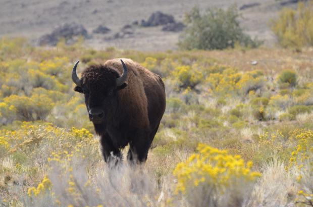 Buffalo posing in the blooming salt bush