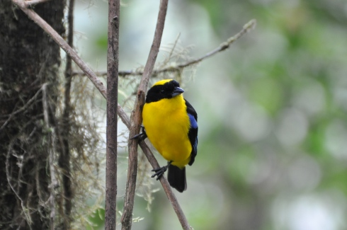 Another Blue-winged Mountain Tanager photo because he gave some good poses