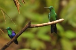 Green-crowned Woodnymph (male) and Green-crowned Brilliant (male)