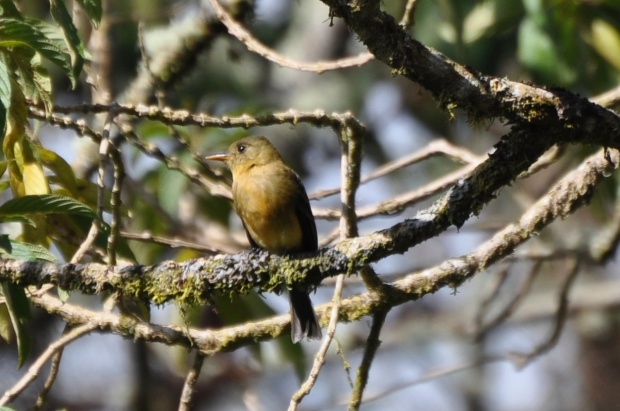 The very rare Ochraceous Pewee was kind enough to give a fantastic view of him in Panama.