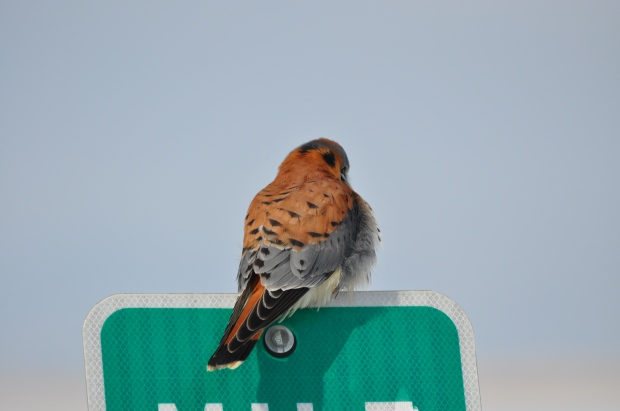 This American Kestrel totally snubbing me