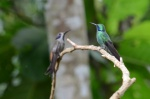 Brown Violetear and Green Violetear