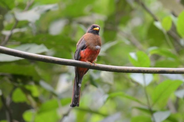 Yeah, I was just totally minding my business during lunch and this Collared Trogon shows up.