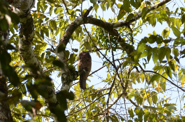 Not a great photo of the Common Potoo, I know.