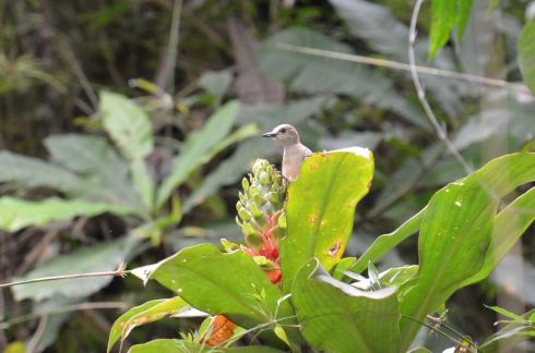 Red-crowned Woodpecker (female) visiting a flower