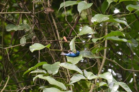 Blue Dacnis. When birds are lazy.