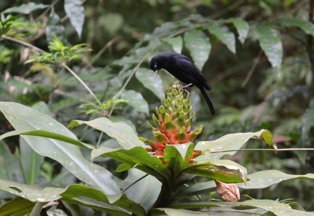 This flower has turned out to be popular, attracting also this Scarlet-rumped Cacique.