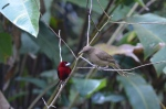 Crimson-backed Tanager and Clay-colored Thrush