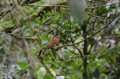 Rufous Mourner