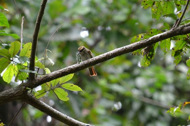 Streaked Flycatcher with caterpillar, but there's just one problem--it's got spiny things sticking out of it