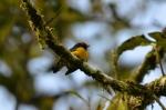 Tawny-capped Euphonia