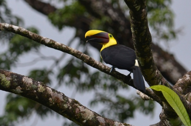 Chestnut-mandibled Toucan. There were eight of them in the area, all calling out with his mating call. It was pretty spectacular.