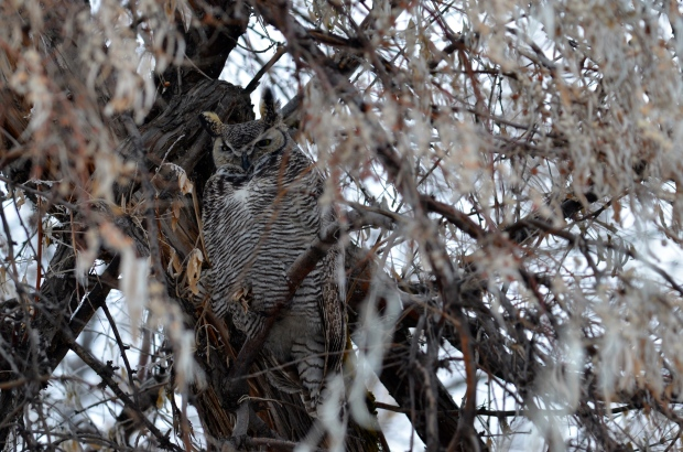 Great-horned Owl (female)