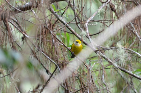 Silver-throated Tanager (Not called in. He just showed up.)
