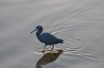 The cute Little Blue Heron