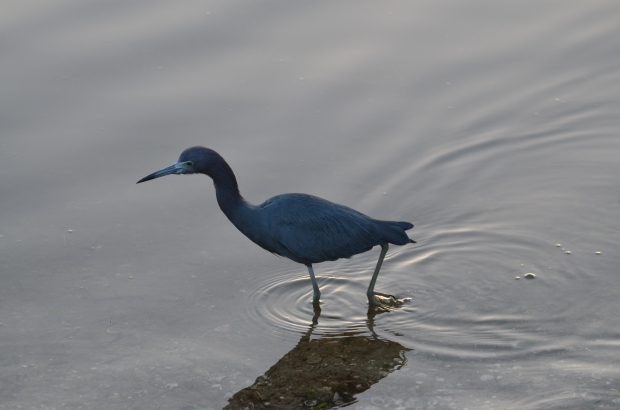 Little Blue Heron not shy at all