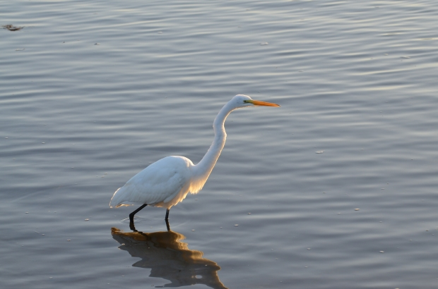 A White Egret slowly and elegantly walks through the water as the sun is rising.