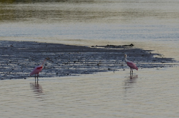 The obvious pink of two Roseate Spoonbills