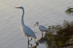 American Egret and White Ibis