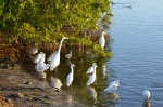 The gathering. American Egrets, snowy egrets, immature Little Blue Herons, and White Ibis