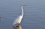 American Egret