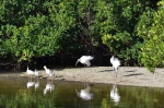 Wood Storks and White Ibis
