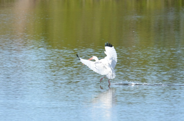 White Ibis walking on water