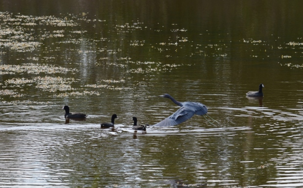 Little Blue Heron and American Coots