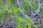 Little Blue Heron just hanging out.