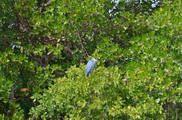 I could count on this Little Blue Heron every time I looked out at the marina.