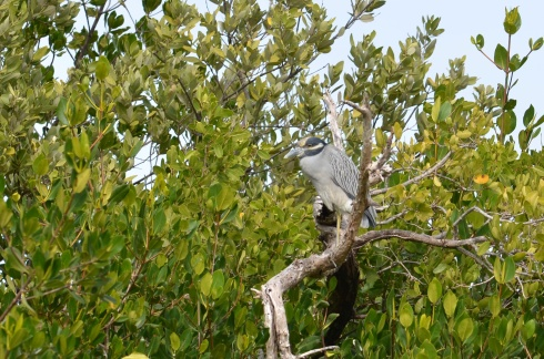 Yellow-crowned Night Heron not in a skulking mood, but in broad daylight.