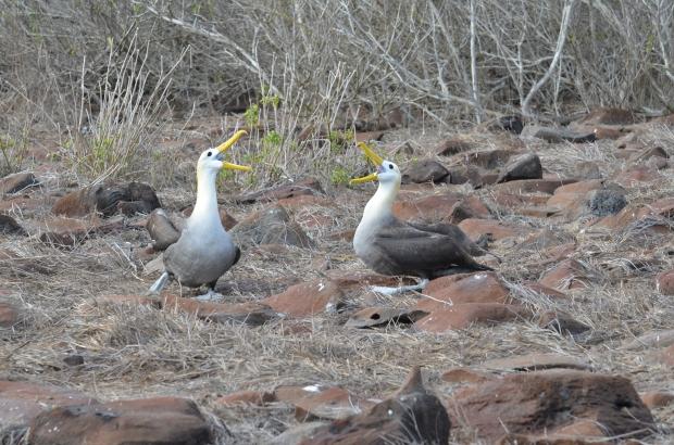 Albatross Espanola Galapagos