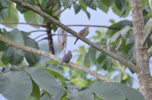 Ecuadorian Doves