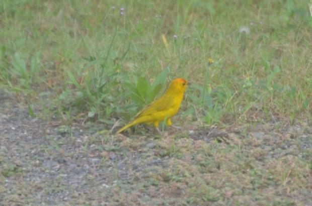 Saffron Finch