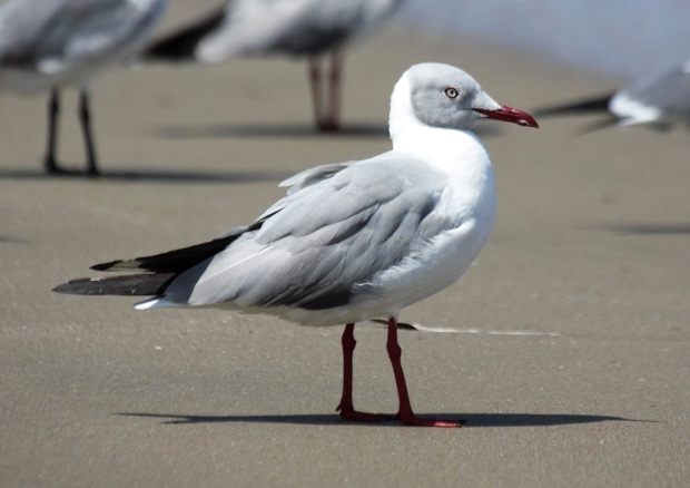 Grey-headed Gull (photo by José Illianes)