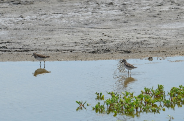 Least Sandpiper and Semi-pulmated Sandpiper