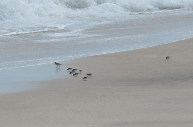 Semi-palmated Sandpipers and Semi-palmated Plover