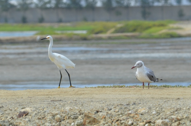 Snowy Egret and Gray-headed Gull