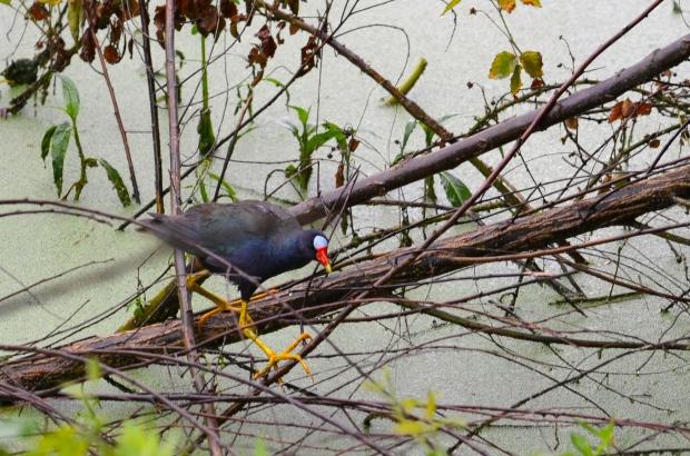 Purple Gallinule - big feet