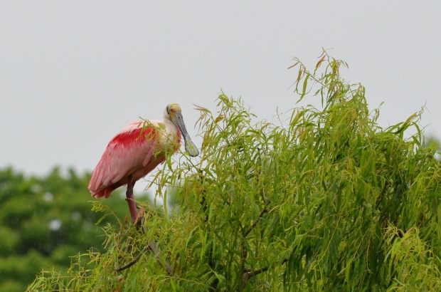 Roseate Spoonbill - gray bill
