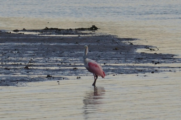 Roseate Spoonbill cropped in