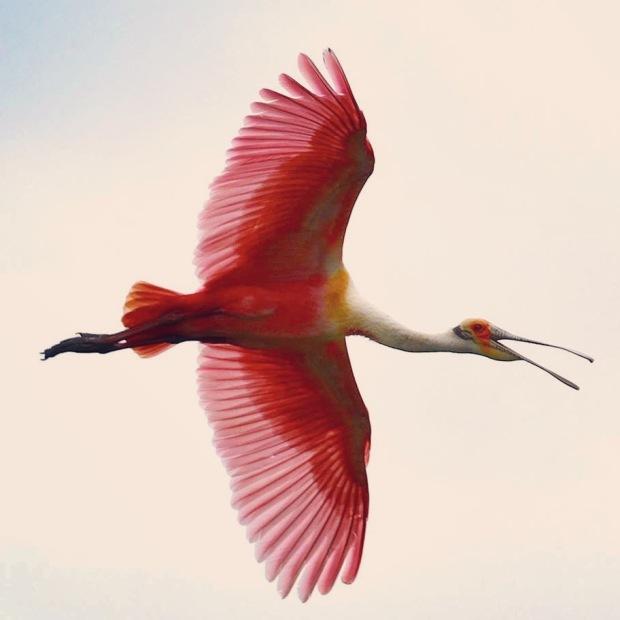 Roseate Spoonbill - flight