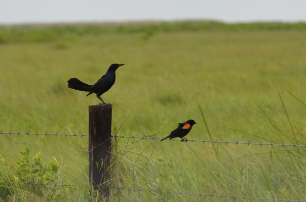 Boat-tailed Grackle and Red-winged Black Bird