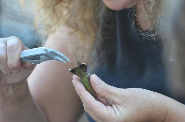 Sheri measures the hummingbird.