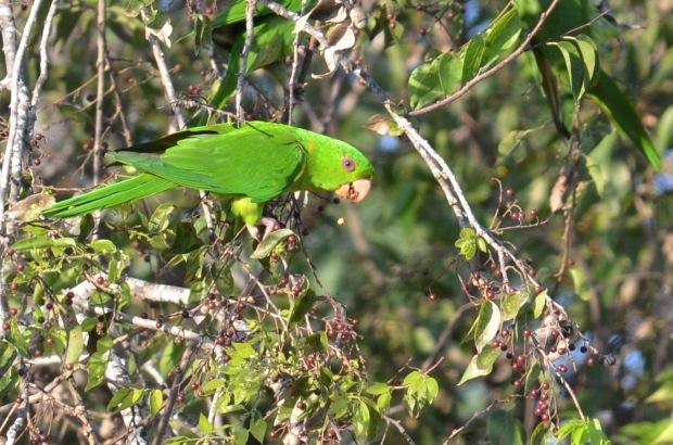 Green Parakeet 1